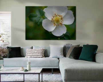 Rose des dunes - fleur 01