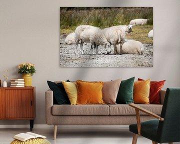 Mehrere Schafe von Kashja Neels