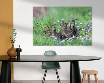 Alle Entenküken, Stockenten mit Jungtieren. von Sven Scraeyen