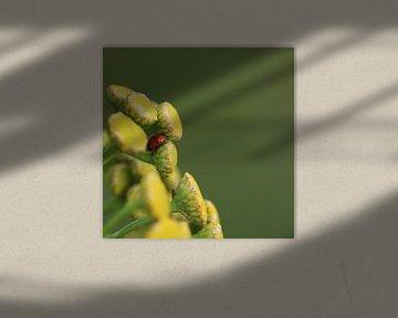 Variabel plat lieveheersbeestje I - Hippodamia variegata van Iris Volkmar