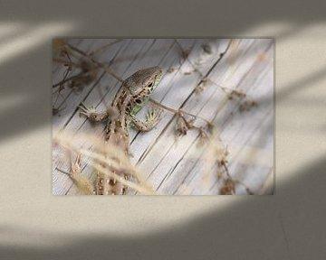 Zauneidechse - Lacerta agilis von Iris Volkmar