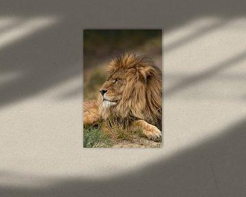 Volwassen mannetjes Leeuw (Panthera leo) rustend in het gras van Nature in Stock