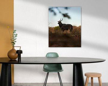 Südafrikanisches Impala von Ian Schepers