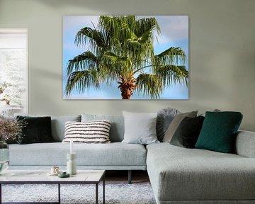 Wipfel einer Palme auf Teneriffa von Reiner Conrad