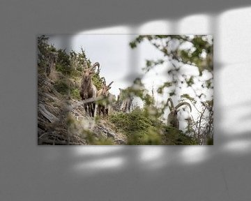 Alpensteinbock, Alpin Ibex von Dominik Imhof