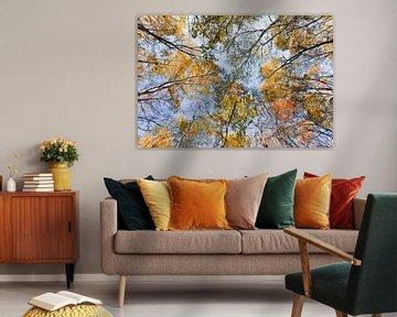 Bottom up shot van berken bomen in de herfst kleuren van Tony Vingerhoets