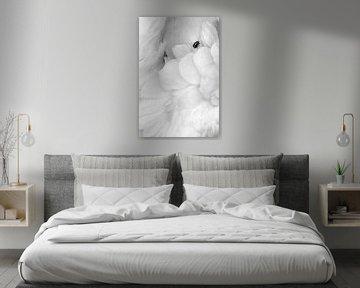 Enregistrement en noir et blanc d'un fou de Bassan (Morus bassanus) sur AGAMI Photo Agency