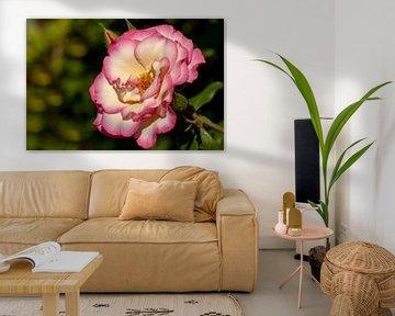 Rose rose dans le jardin.