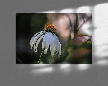 Echinacea pallida von Tania Perneel