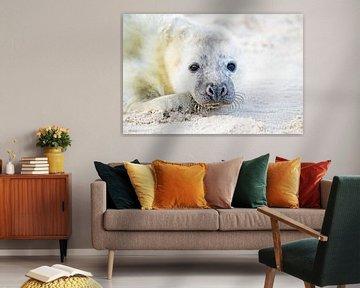 Robbenbaby (Halichoerus grypus) beim Entspannen am Strand von Nisangha Masselink