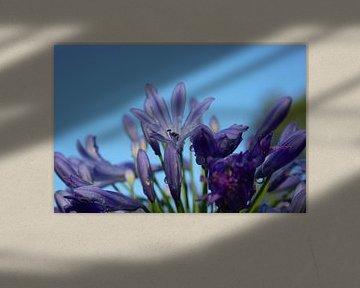violette Blume, blaue frische Sommerluft von Anke Winters