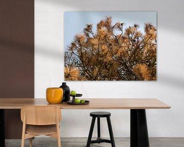 Bourgeons bruns d'un épicéa