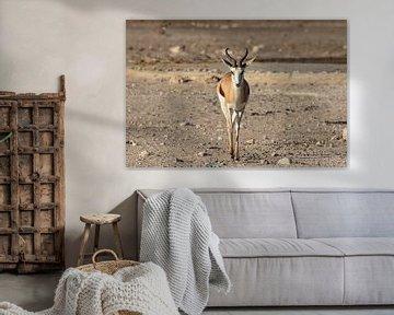 Springbock von GoWildGoNaturepictures