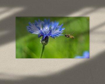 Kornblume im Feld mit schwebender Wespe von Mischa Corsius