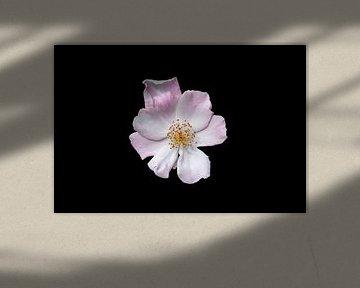 Makro einer Rose mit goldenem Herz von Ribbi The Artist