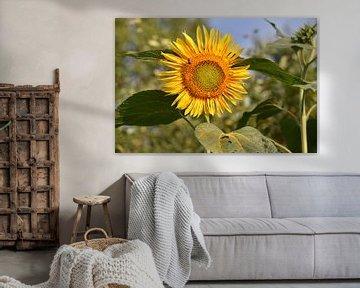 Een prachtig bloeiende zonnebloem van Tjamme Vis