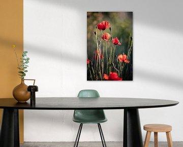 Roter Mohn im Abendlicht von KB Design & Photography (Karen Brouwer)
