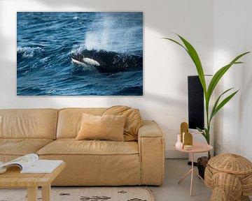 Orca | Killer Whale van Judith Noorlandt