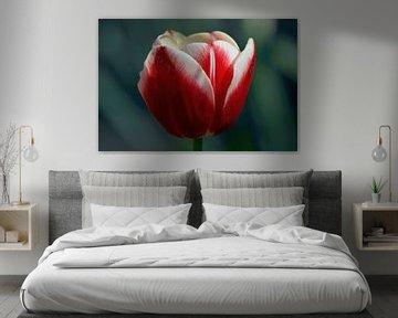 Tulpe von Dorris Daggenvoorde