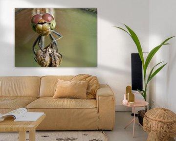Bildnis eines braunroten Heidelibels von Petra Vastenburg
