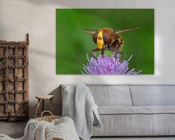 Hoornaar zweefvlieg op bloem van Petra Vastenburg