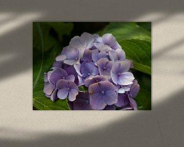 violette Blume von Laurenz Heymann
