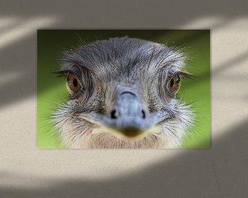 Portret van een struisvogel (Struthio camelus) van Remco Donners