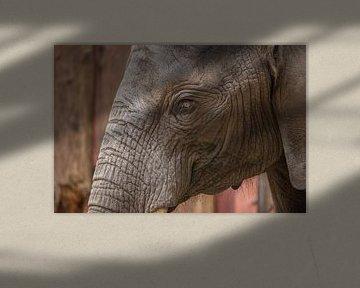 Elefantenauge mit Falten von Rob Legius