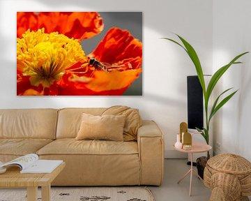 Schwebfliege auf einer roten Mohnblume von Annika Westgeest Photography