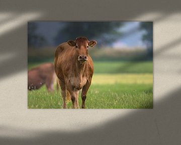 Koe in de wei van Anton Kloof