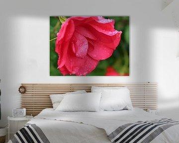 Open roze roos met regendruppels (macro) van Monrey