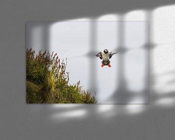 Papageientaucher (Puffin) der versucht zu landen von Robert Styppa