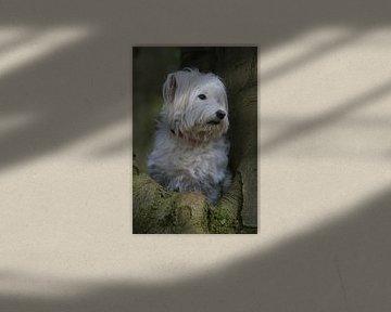 Romanian dog van Patrick vdf. van der Heijden