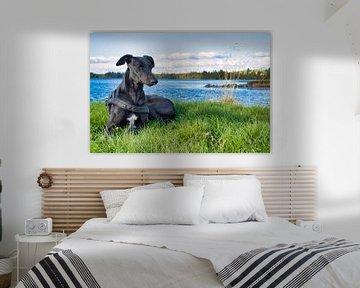 Windhund von Patrick vdf. van der Heijden