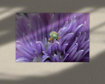 Rüsselkäfer in violett von Annika Westgeest Photography