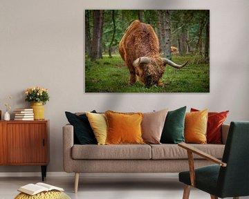 Grazende Schotse Hooglander stier van Jenco van Zalk