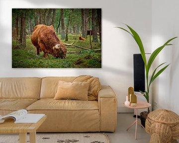 Grazende Schotse Hooglander stier in natuurgebied
