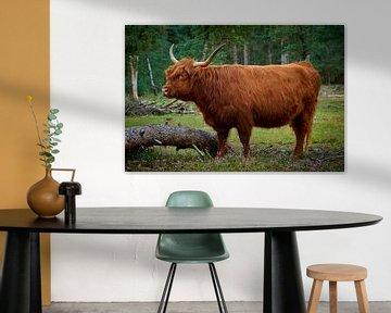 Stoere drachtige Schotse Hooglander koe van Jenco van Zalk