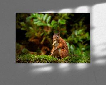 Eichhörnchen von Johan Honders