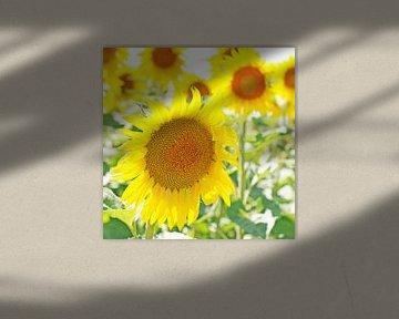 Junge, frische Sonnenblumen im Sommer von Annavee