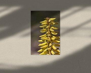 Blume der Aloe Vera auf Bonaire. von Silvia Weenink