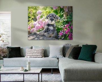 Standaard Schnauzer Puppy in een bloeiende tuin van Katho Menden