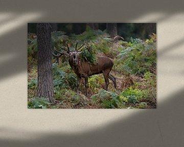 Rothirsch ( Cervus elaphus ), 18-ender, röhrt im Wald aus voller Brust, Geweih mit Farn behangen, Eu von wunderbare Erde