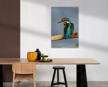 IJsvogel (Alcedo atthis) op de lichte plek, kleurrijk glanzend verenkleed, spannend uitzicht, wild,  van wunderbare Erde