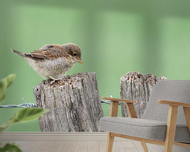 Beispiel fototapete: Neuntöter ( Lanius collurio ), gerade eben flügger Jungvogel erkundet die Welt wildlife, Europe. von wunderbare Erde