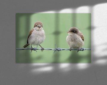 Neuntöter ( Lanius collurio ), Weibchen mit Jungvogel, wildlife, Europa. von wunderbare Erde
