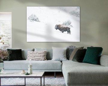 Bison ( Bison bizon ) trotseert de harde winter met sneeuwval, Yellowstone NP, Wyoming, USA. van wunderbare Erde