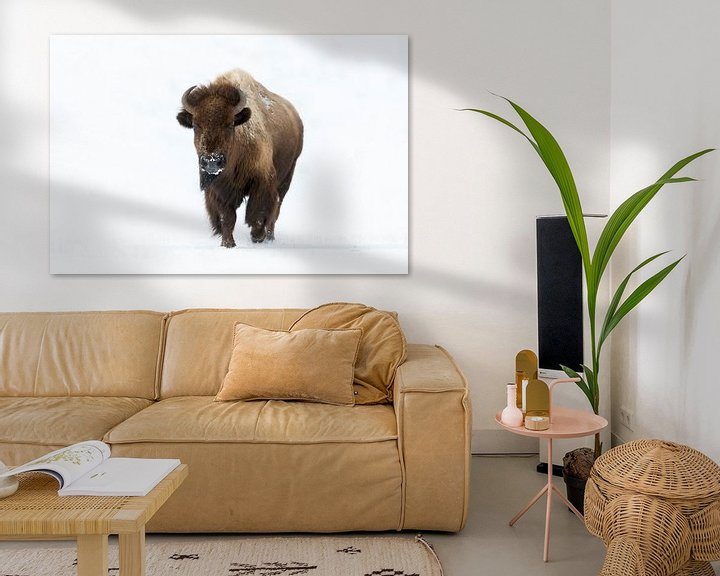 Beispiel: Amerikanischer Bison ( Bison bison ) im Winter, läuft auf den Fotografen zu, direkter Blickkontakt,  von wunderbare Erde