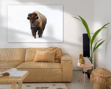 Amerikaanse Bison ( Bison bison ) in de winter, rennend naar de fotograaf, direct oogcontact, Yellow van wunderbare Erde