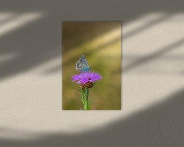 Ikarusblau auf einer Kornblume von John van de Gazelle